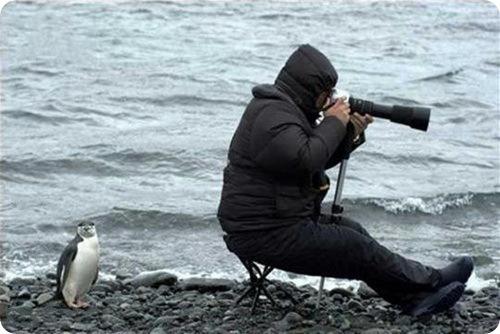 Пингвин за тобой
