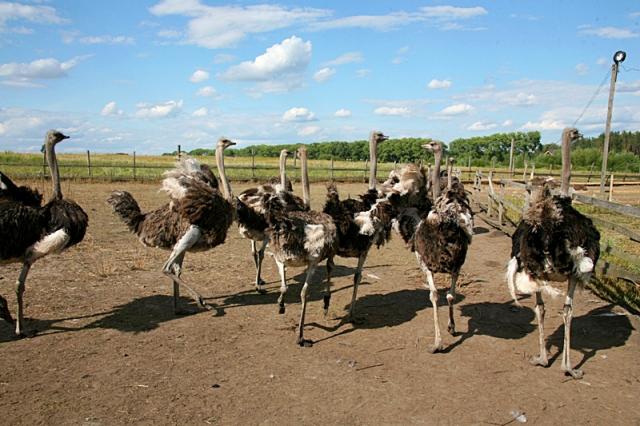 Страусиная ферма под Киевом