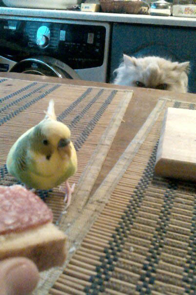 Утром кормил попугая бутером..