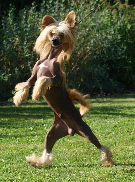 Найсмішніші породи собак: Китайська чубата
