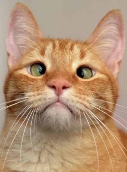 Милый косоглазый котик Джарвис