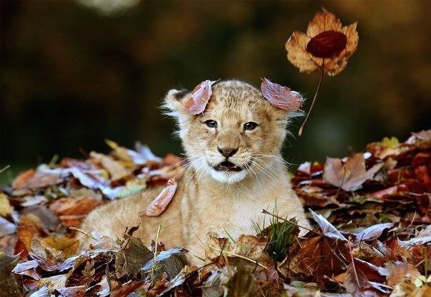 Львёнок радуется осени