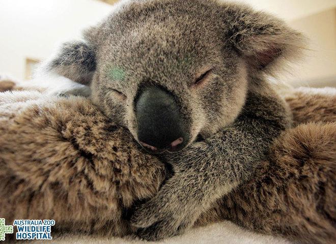 Трепетная любовь: детеныш коалы обнимает свою маму во время операции (фото)