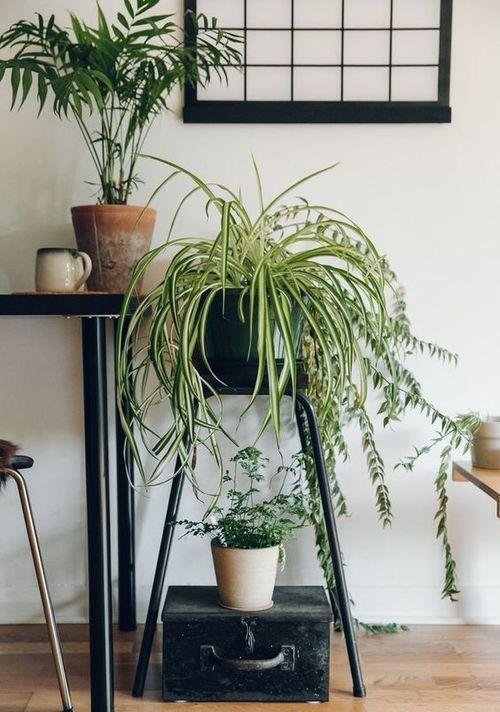 Неприхотливые растения для дома: хлорофитум хохлатый
