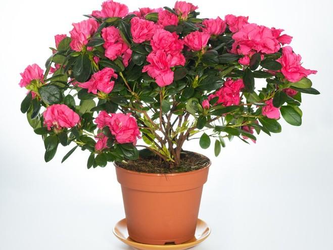 домашні квіти