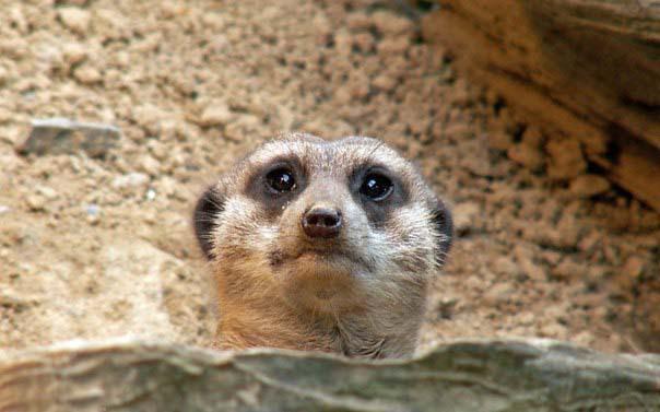 Сурикаты – животные, вызывающие улыбку