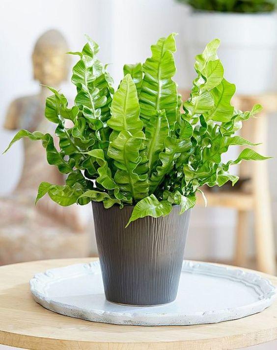 Неприхотливые растения для дома: костенец гнездовой