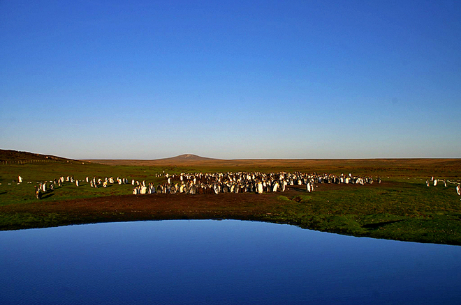 Де зустріти пінгвінів: Пінгвіни на островах поблизу Вогненної Землі - Королівський пінгвін