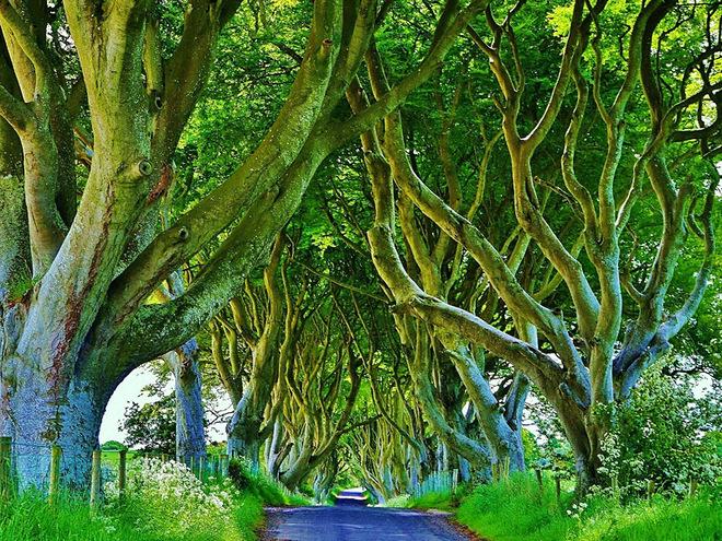 Буковий тунель (Ірландія)