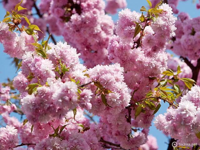 Куда поехать на майские 2012: Сакура в Ужгороде
