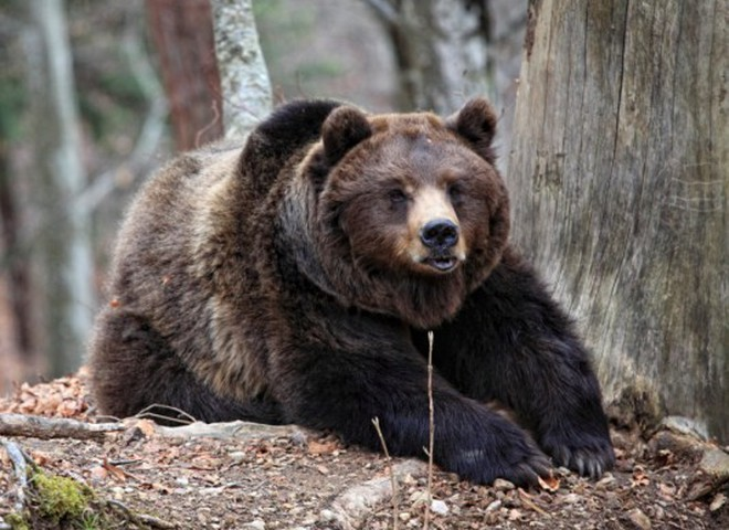 Медведь украл чучело своего собрата