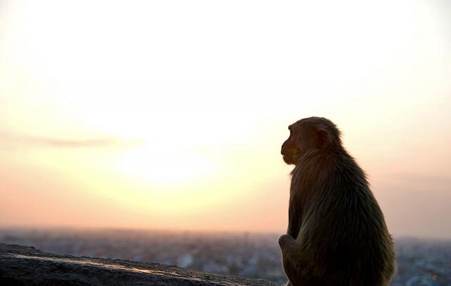Где встретить дикое животное: Monkey Palace – Джайпур