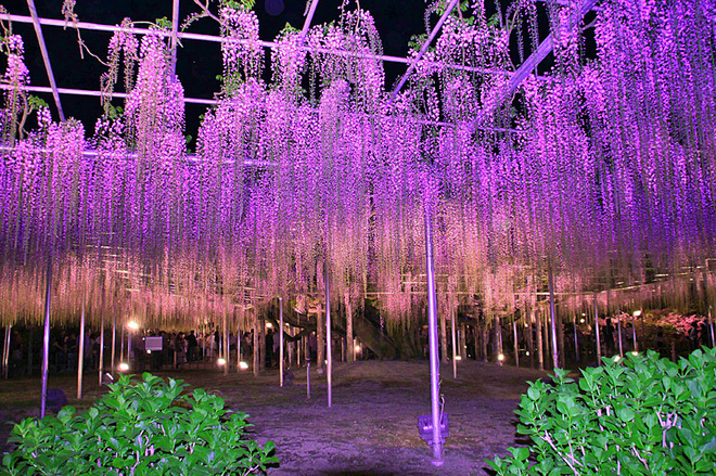 Цвітіння гліциній в парку Асікага