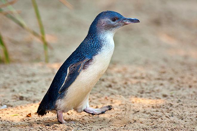 Де зустріти пінгвінів: Пінгвіни в Австралії - Малий блакитний пінгвін