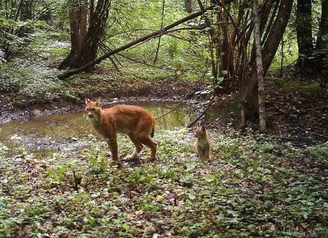 Животные в Чернобыльской зоне