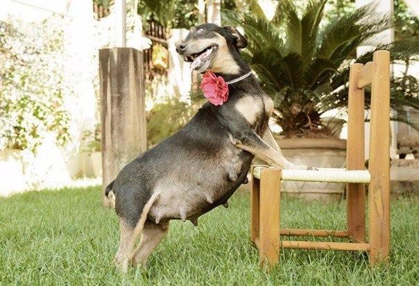 Фотосессия беременной собаки покорила Интернет