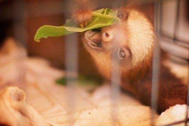 Мимимишный новорожденный ленивец