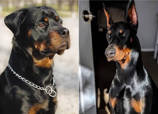 Найнебезпечніші собаки в світі: породи і фото