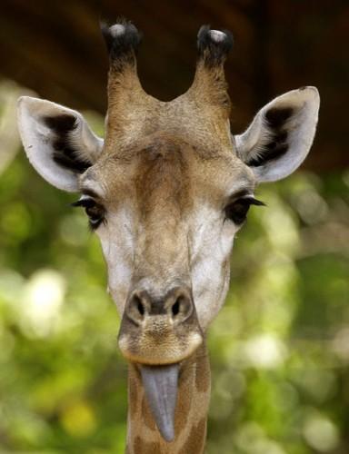 жирафко-языкафко
