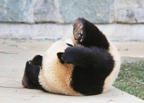 Спящая пандочка делает кульбиты