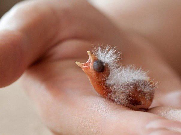 Новорожденная канарейка