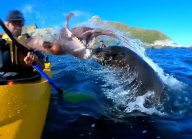 відео тюлень восьминог людина