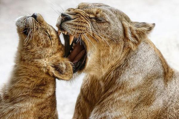 Очаровательный львонок
