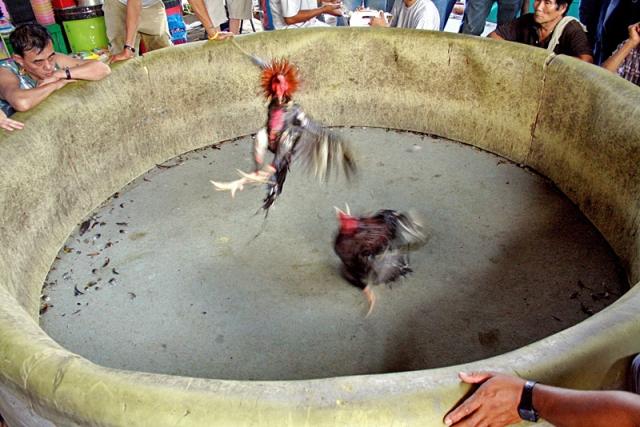 Чианг-Май фото: петушиные бои