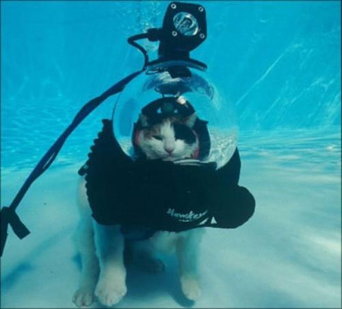 Коты водолазы