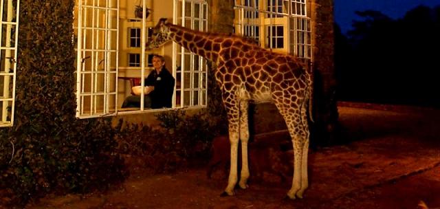 Де зустріти дику тварину: Жирафи в Кенії