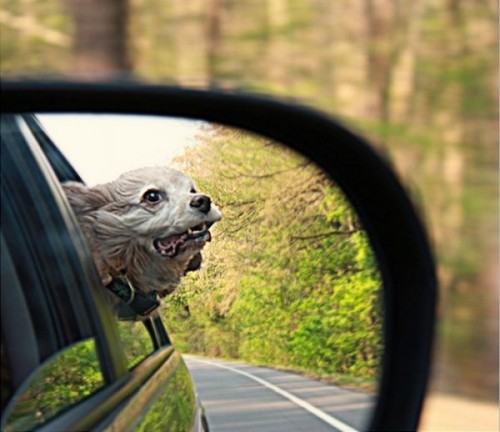 Собаки гонщики