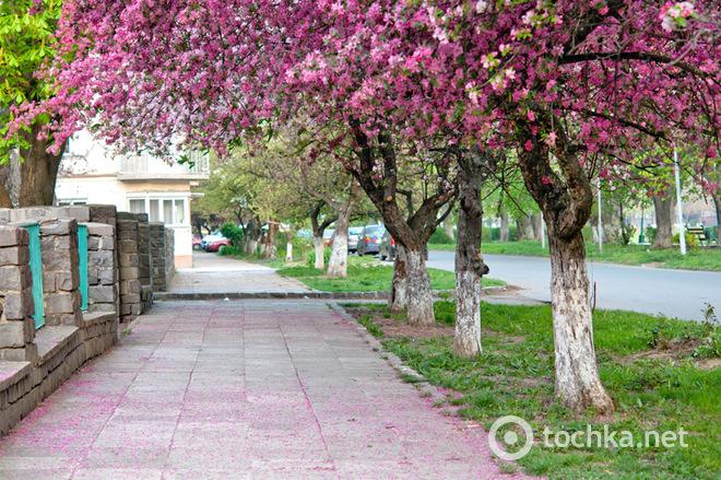 Цвітіння сакури в Ужгороді: японські традиції в Україні