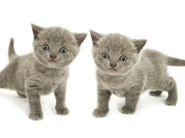 Вислоухие котята рулят фото