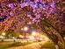 Цветение сакуры в Ужгороде: японские традиции в Украине