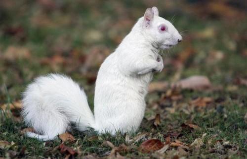 Белочка-альбинос