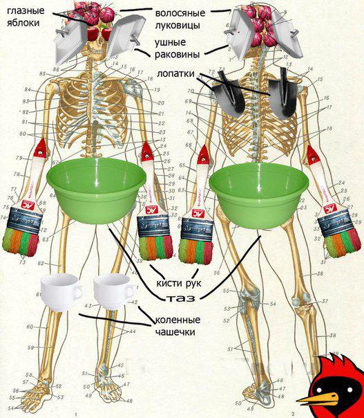 Кэп про скелет человека